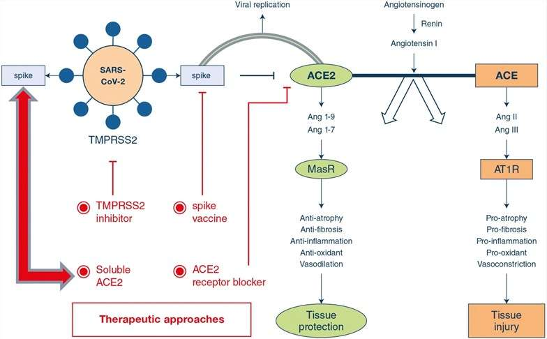 Potential approaches to address ACE2-mediated COVID-19 following SARS-CoV-2 infection.