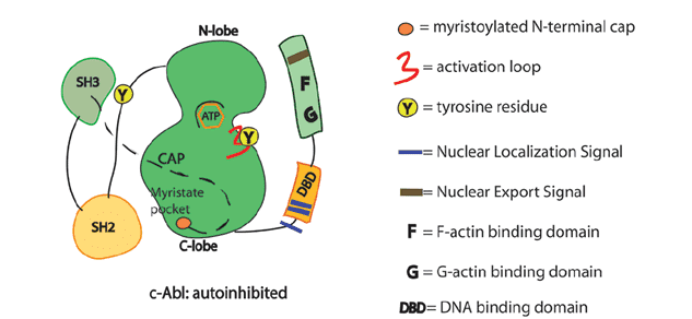 Schematics of the functional domains in Abl.