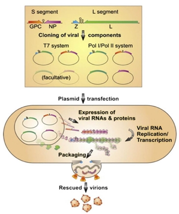 Reverse genetics systems for the rescue of arenaviruses from cDNA.