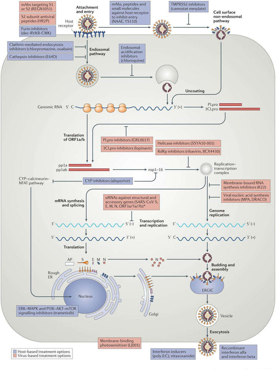 Virus-based and host-based treatment options targeting the coronavirus replication cycle.