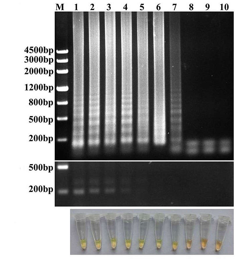 The sensitivity of the RT-LAMP compared with RT-PCR assay.